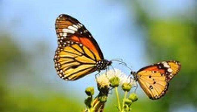Le saviez vous ? A Eilat il y a ……..  le papillon tigré..