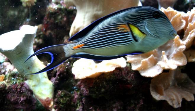 Le saviez-vous ? A Eilat il y a………le poisson chirurgien zébré!