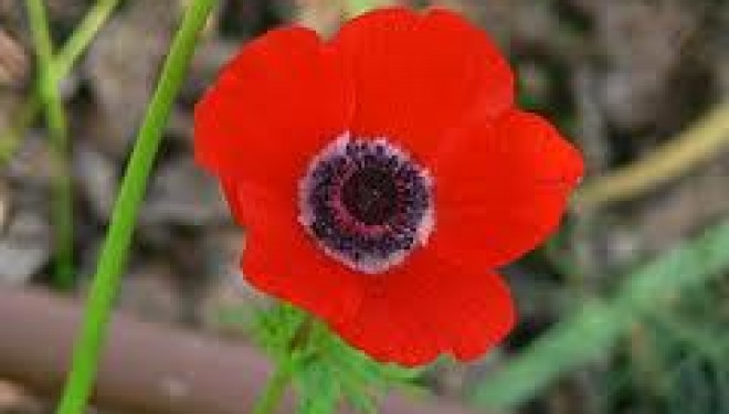 Le saviez-vous ?A Eilat il y a ……..les anémones Coronaria !