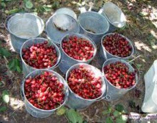 Ashdod : Pensez a Reserver votre place dans le Goush Etzion pour la cueillette des cerises le 3 juin prochain