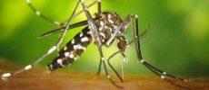 Ashdod : attention au moustique tigre asiatique